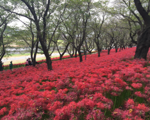 権現堂の曼珠沙華まつりで100万本の彼岸花を見てきました(埼玉県幸手市)
