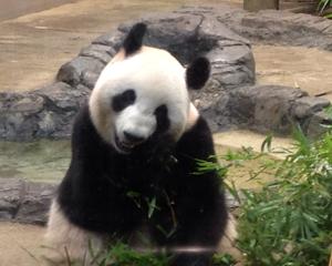 上野動物園でパンダのリーリーとシンシンを見てきました