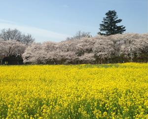 1000本桜の名所・権現堂の桜まつりへ行ってお花見してきました(埼玉県幸手市)
